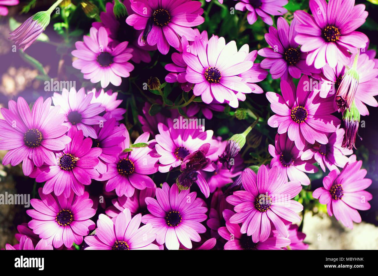 Magenta Bicolour Pericallis Hybrid Background Violet And Purple