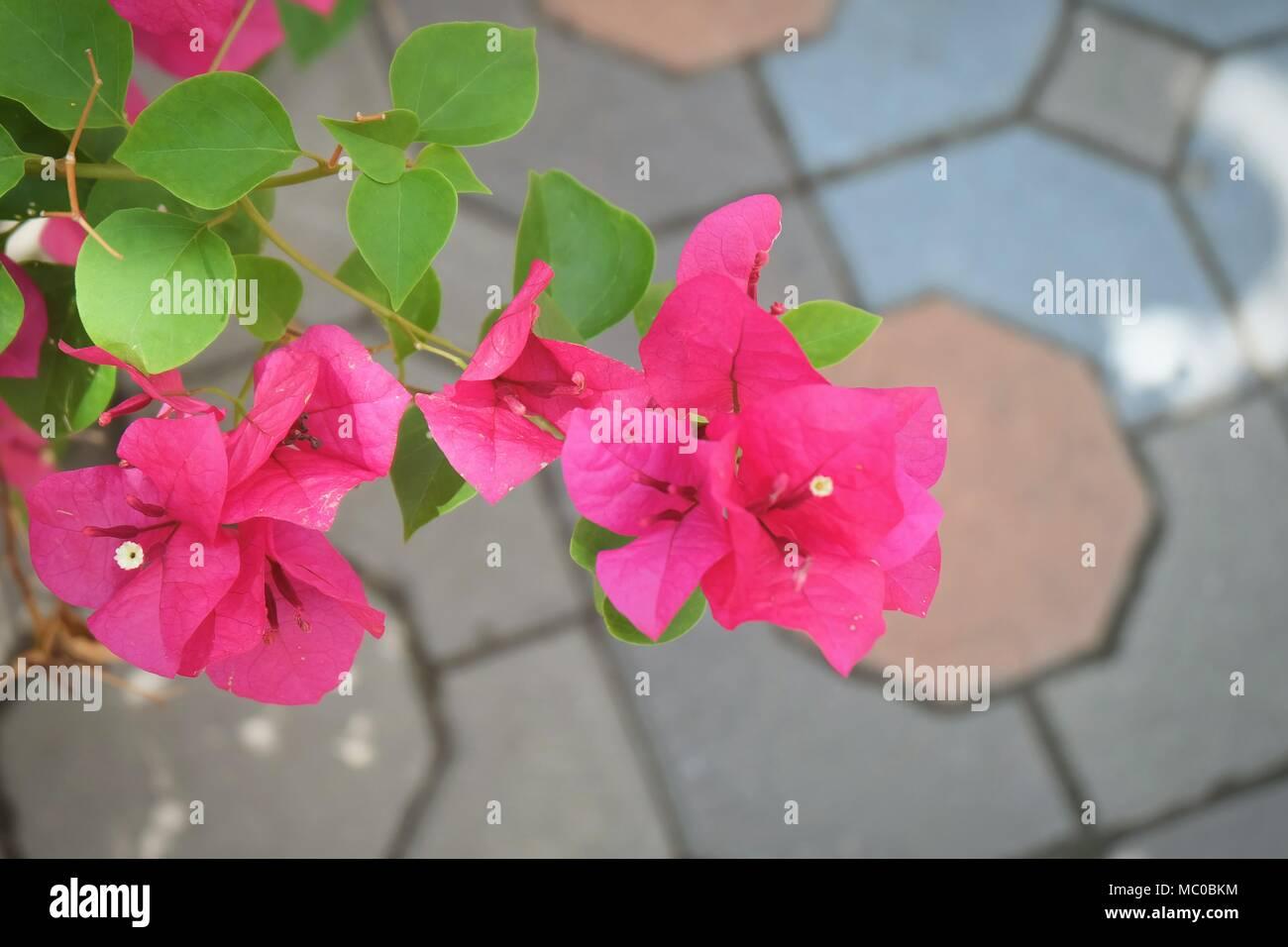 Beautiful Fresh Pink Bougainvillea Flowers Or Paper Flowers Blooming