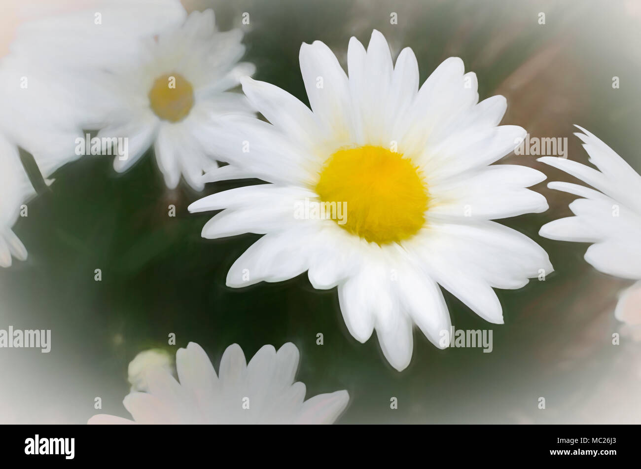 Daisies flowers in painting style look like painting by hand stock daisies flowers in painting style look like painting by hand izmirmasajfo