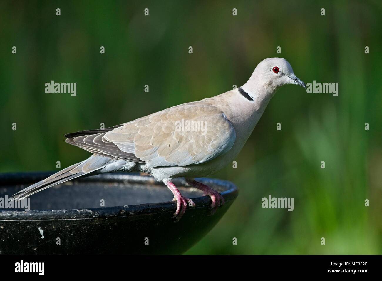 Collared dove (Streptopelia decaocto) East Sussex, UK - Stock Image