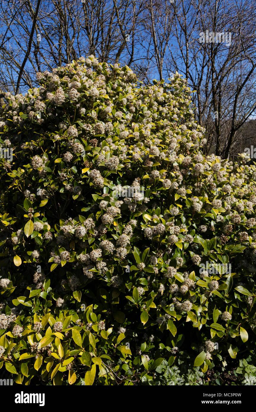 Spring flowering evergreen shrubs shrub with purple flowers bush spring flowering evergreen shrubs skimmia shrub stock photos u0026 skimmia shrub stock images alamy mightylinksfo