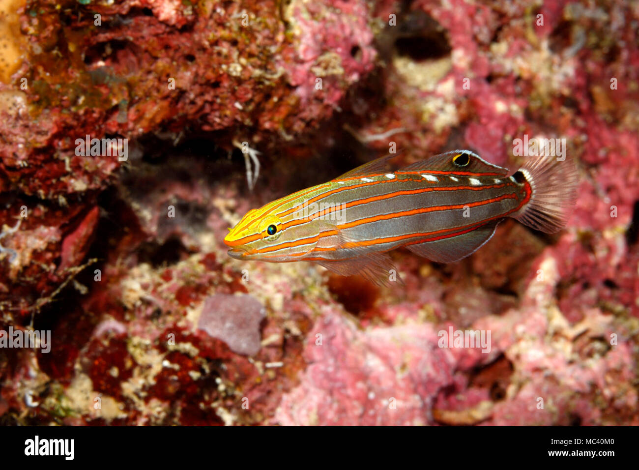 old-glory-goby-koumansetta-rainfordi-also-known-as-court-jester-goby-and-rainfords-goby-MC40M0.jpg