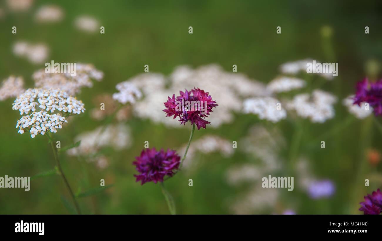 Beautiful Meadow Field With Wild Flowers Cornflowers And Yarrow