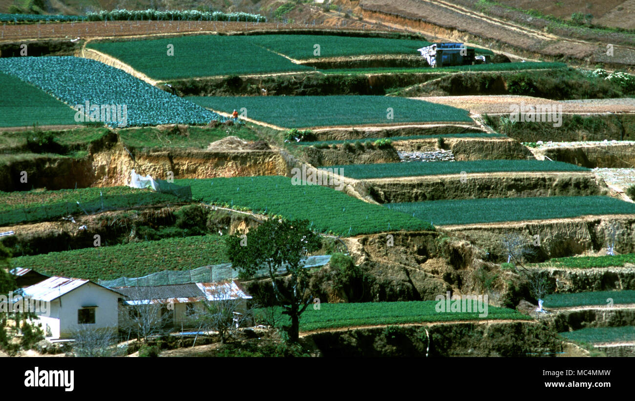 Cash crops being grown in an indigenous community in Vietnam's Central Highlands. - Stock Image