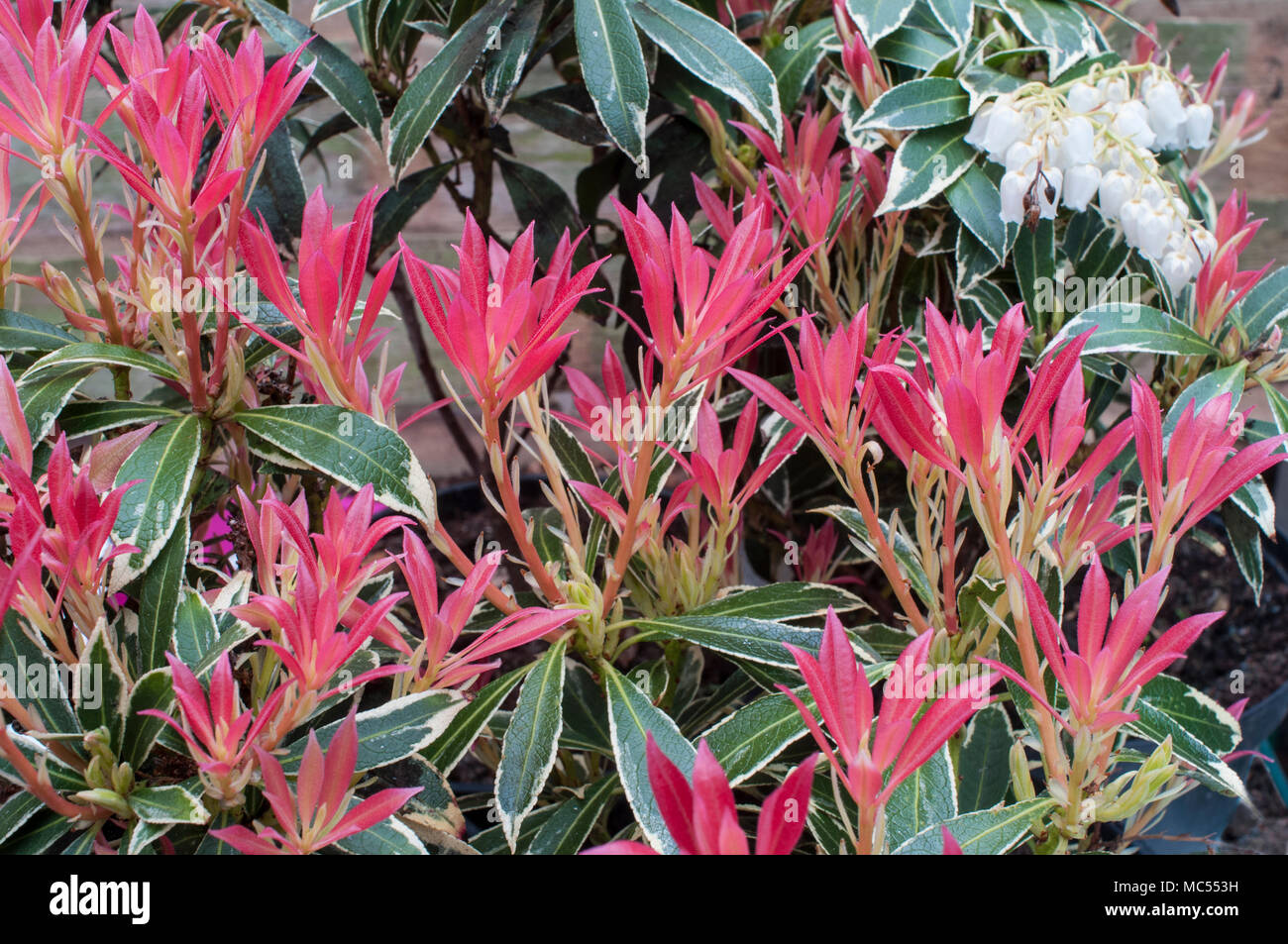 Pieris Flaming Silver With Red Leaves And Urn Shaped White Flowers