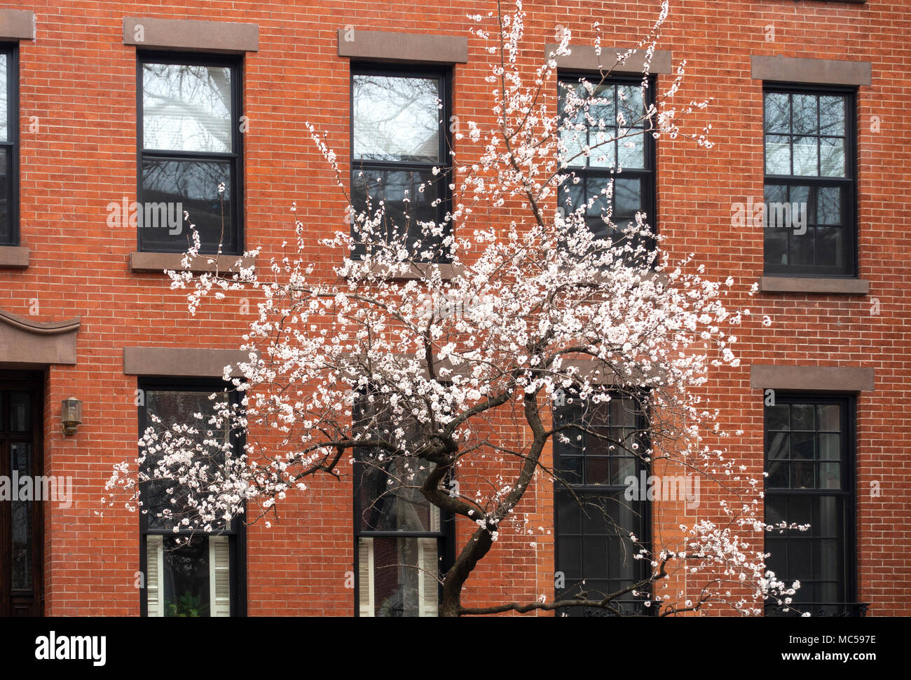 white-cherry-blossoms-prunus-avium-bloom