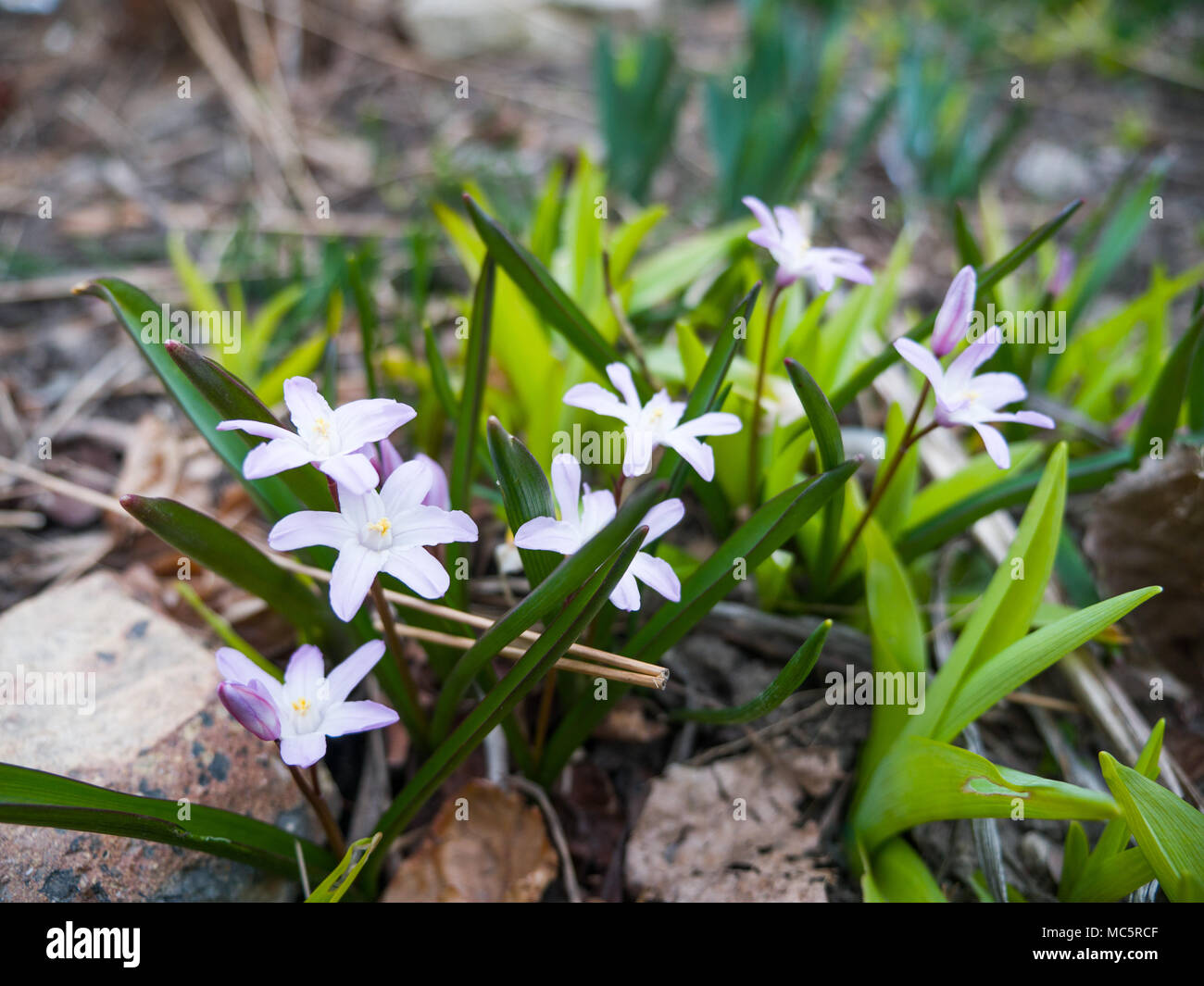 Small glory of the snow or chionodoxa small light purple perennial small glory of the snow or chionodoxa small light purple perennial flowers blooming in the spring in a flower bed with blurred bokeh background mightylinksfo