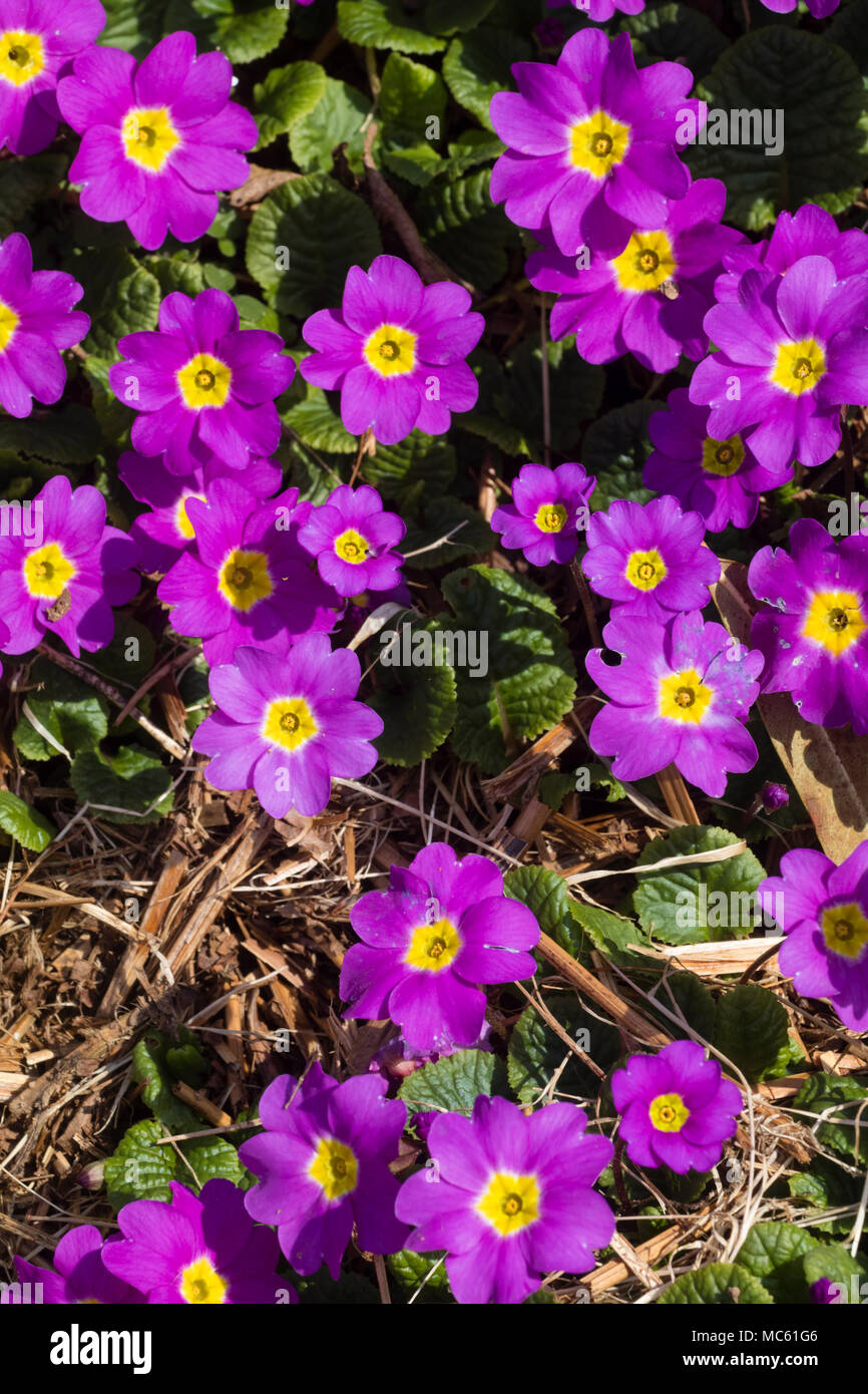 Mauve Pink Flowers Of The Heritage Sport Of The Uk Native Primrose