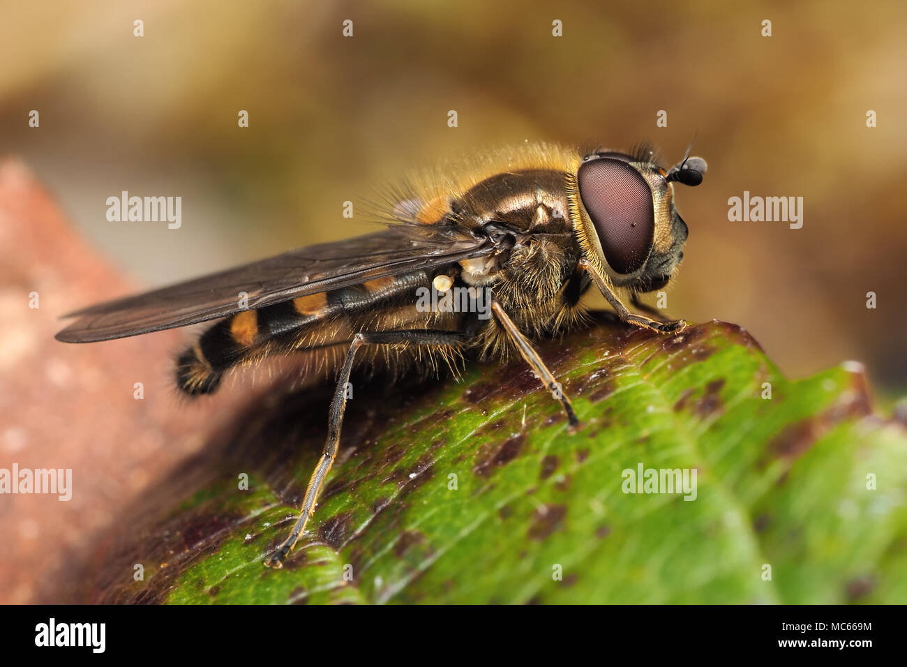 Male Hoverfly (Melangyna lasiophthalma) perched on bramble leaf in coniferous woodland. Tipperary, Ireland Stock Photo