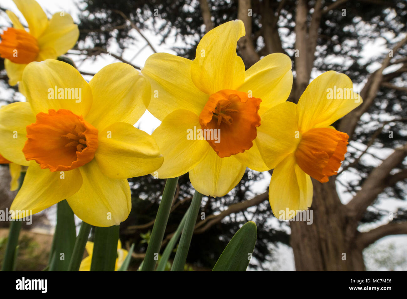 Trumpet Daffodil Hero Narcissus Yellow With Orange Centre Spring