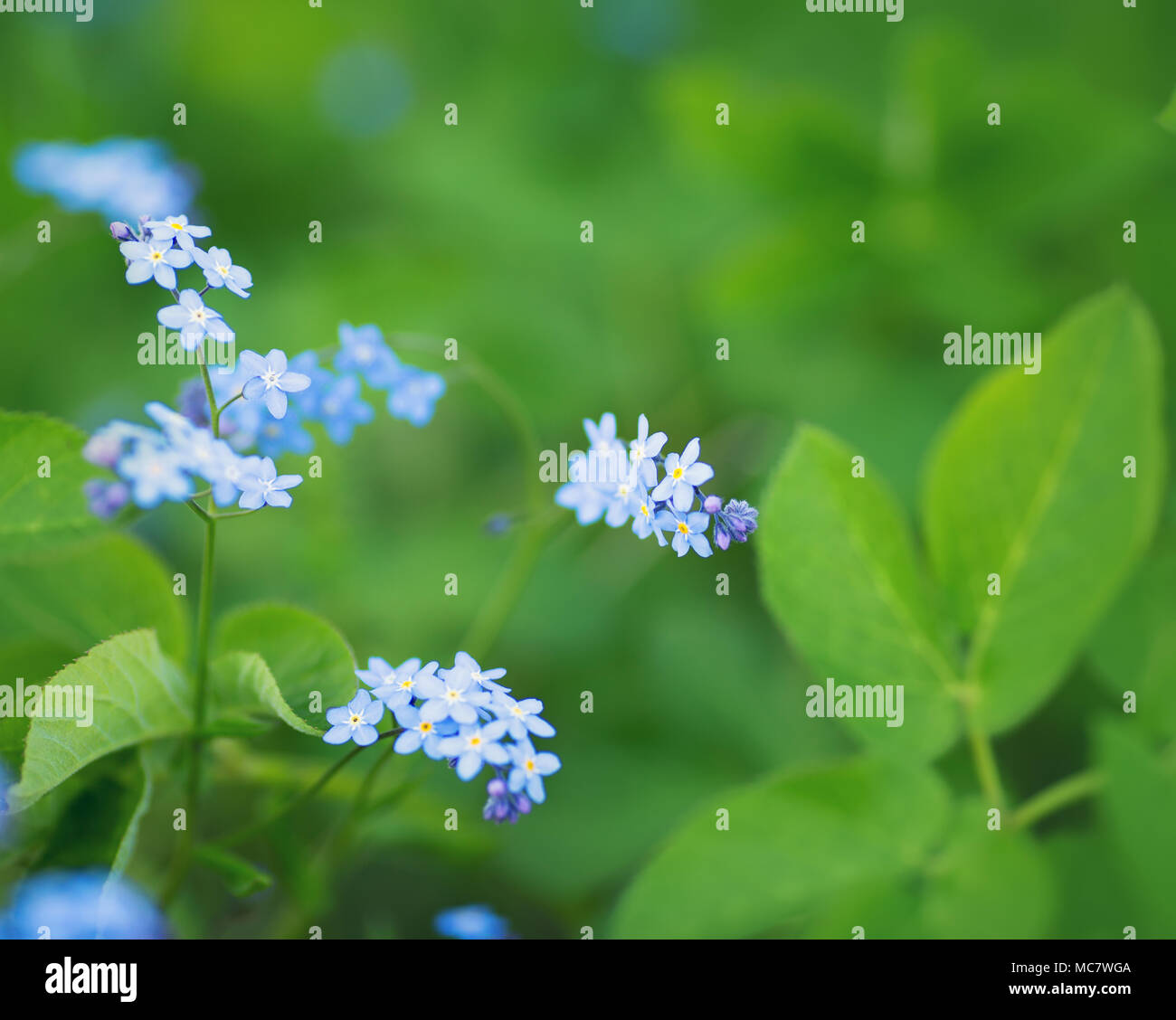 View To Blue Spring Flowers In The Park Forget Me Not Blossom At