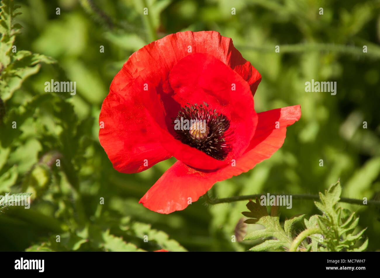Sydney Australia Flanders Poppy A Red Poppy With Black Centre Stock