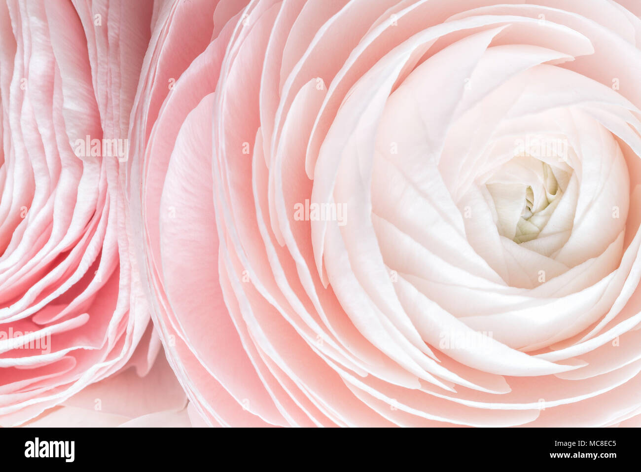 many layered petals persian buttercup bunch pale pink ranunculus