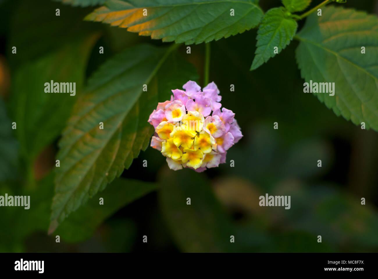 Beautiful Yellow Pink Inflorescence Of A Tropical Flower Lantana