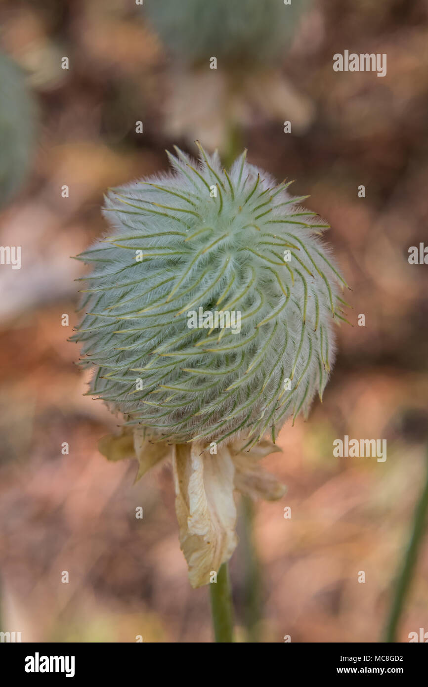 Seed Head of Anemone Flower Blooms in Wilderness in Oregon - Stock Image