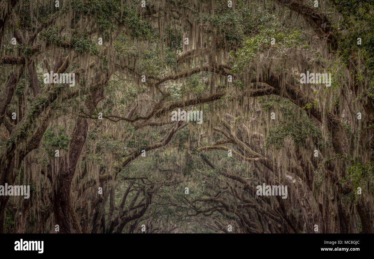 Spanish Moss Growing  on Live Oak Trees - Stock Image