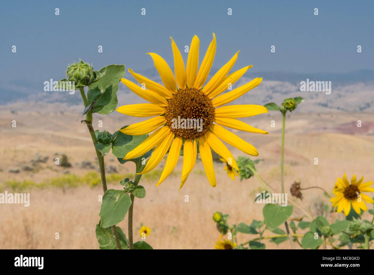 Sunflower in the Desert on sunny summer day - Stock Image