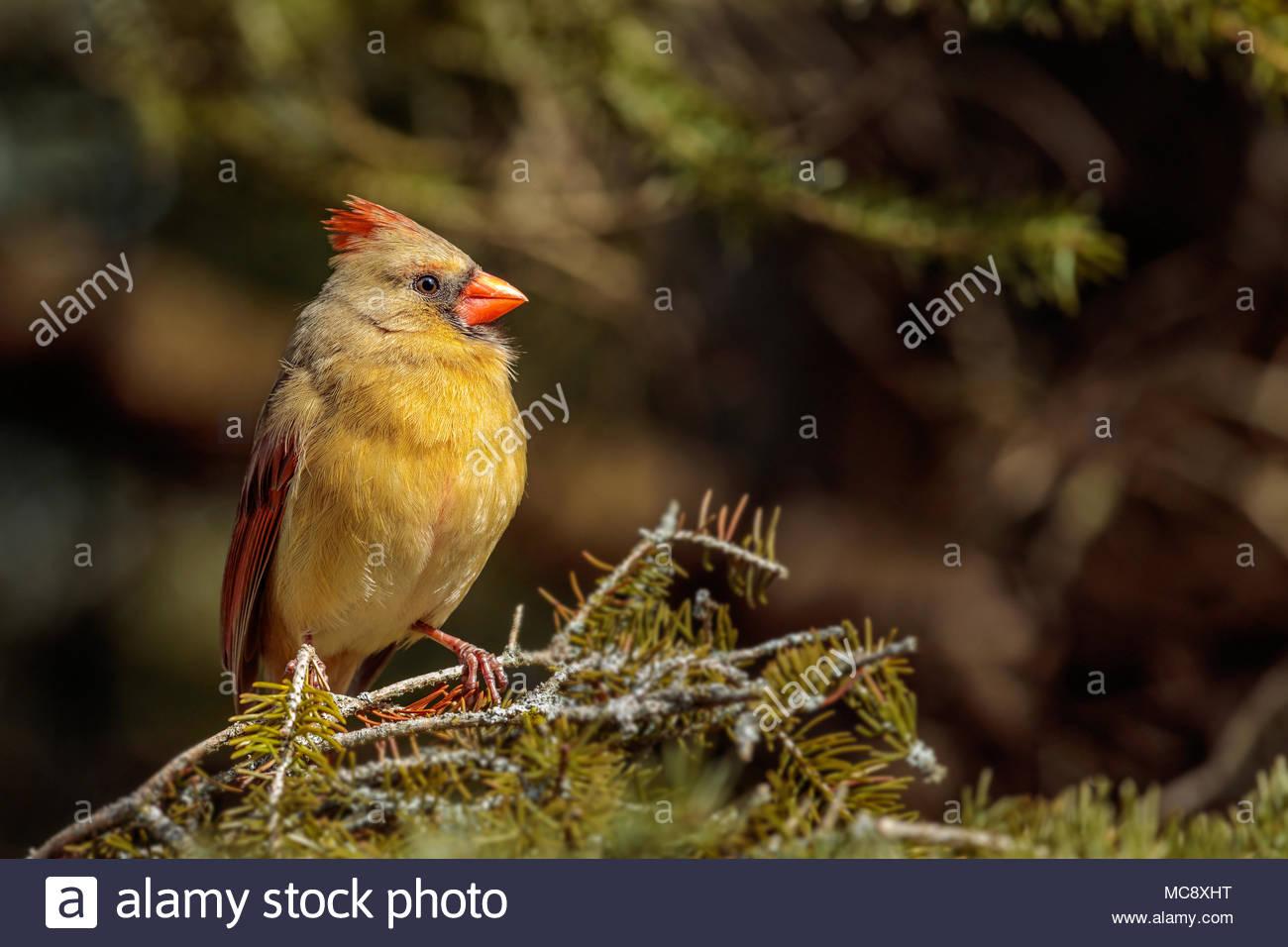 northern-cardinal-cardinalis-cardinalis-