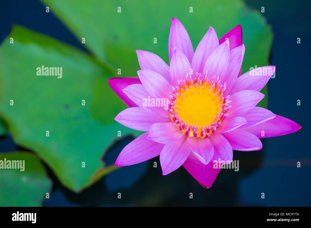 A Very Beautiful Blossom Lotus Flower Or Water Lily In Pond Focus