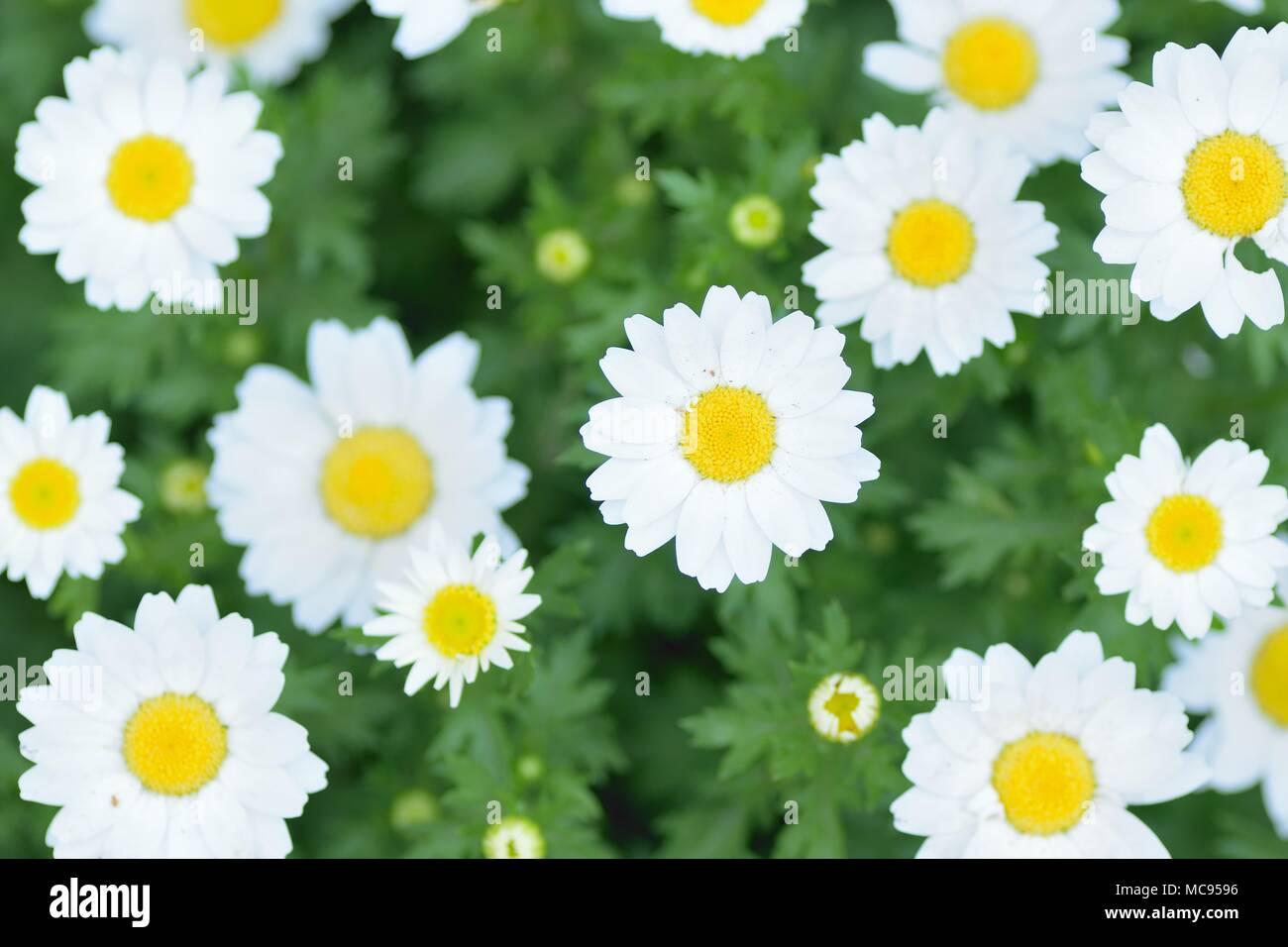 Macro Details Of White Daisy Flowers In Horizontal Frame Stock Photo