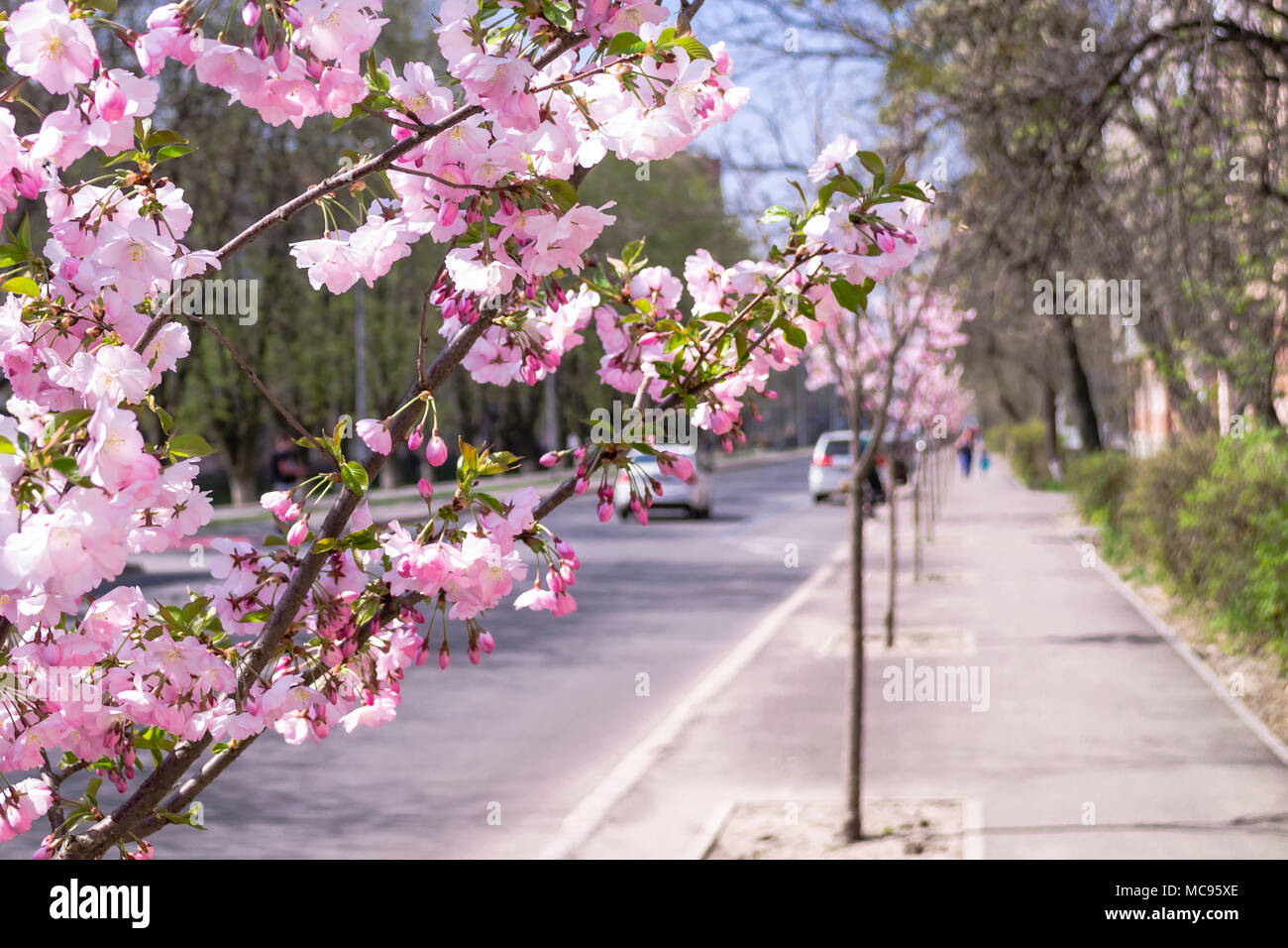 Pink sakura flowers closeup on blurred street background stock photo pink sakura flowers closeup on blurred street background mightylinksfo