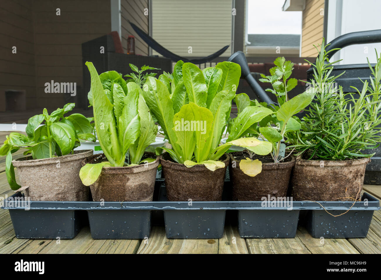 Tray of Young Plants Ready for Spring Planting on back deck - Stock Image