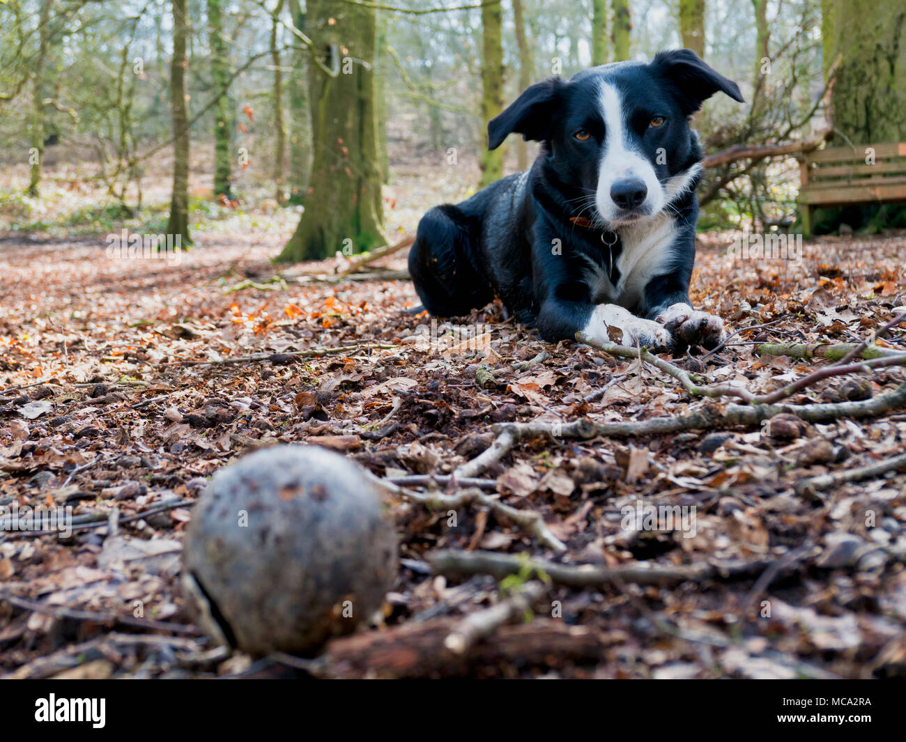 Derbyshire, UK, 14 April 2018. UK Weather: dog having fun playing with a ball in the woods as warm spring temperatures finally arrive in Ashbourne, Derbyshire, Peak District National Park Credit: Doug Blane/Alamy Live News - Stock Image