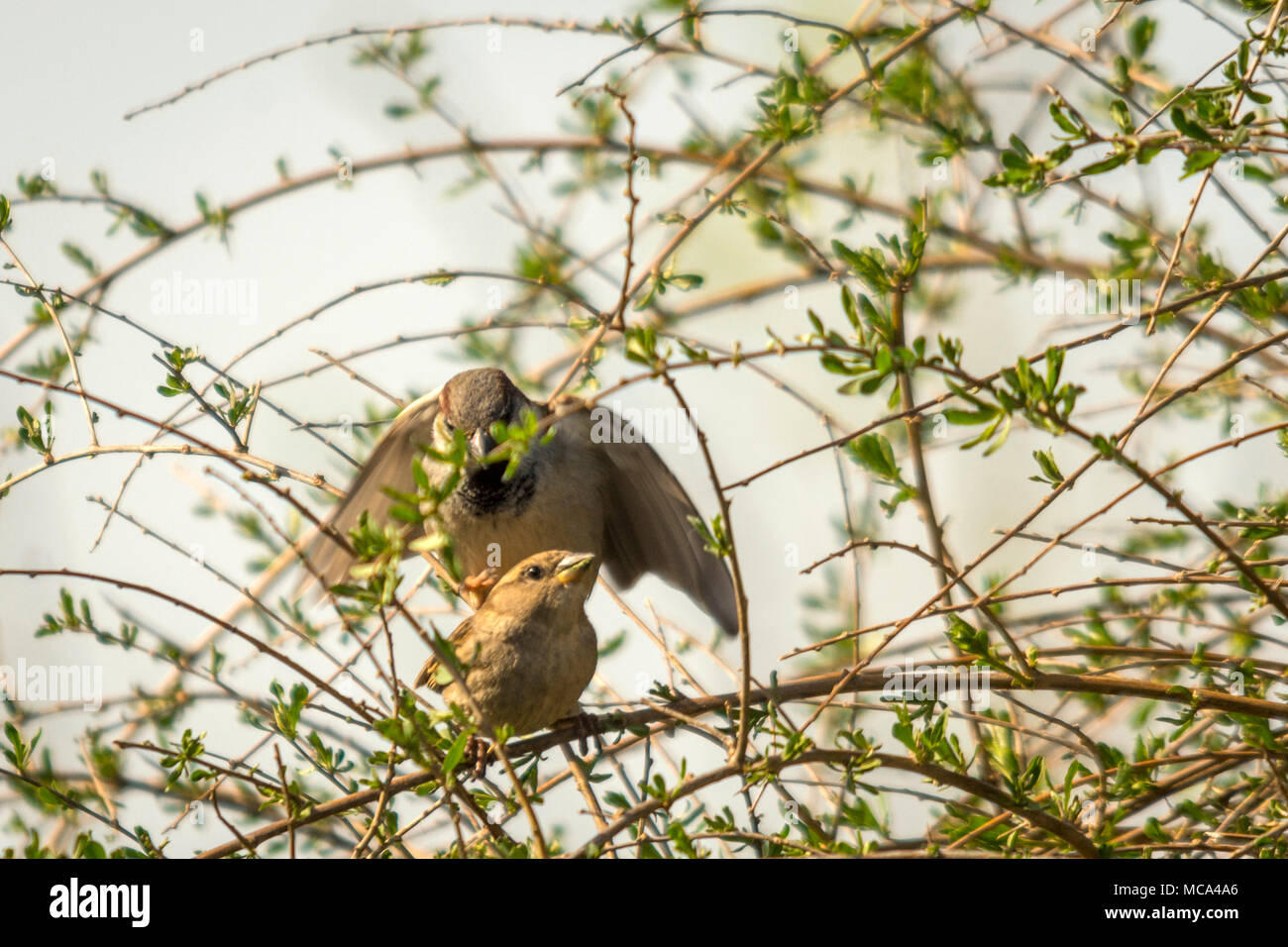 Malomirovo Strandja mountians Bulgaria 14th April 2017: Warm weather after hash winter breeding Sparrow's a sign spring arrived rural with over 400 recorded birds across Bulgaria including endangered species some breed in villages at foothills of the Strandja mountians Bulgaria Clifford Norton Alamy  Live News. - Stock Image