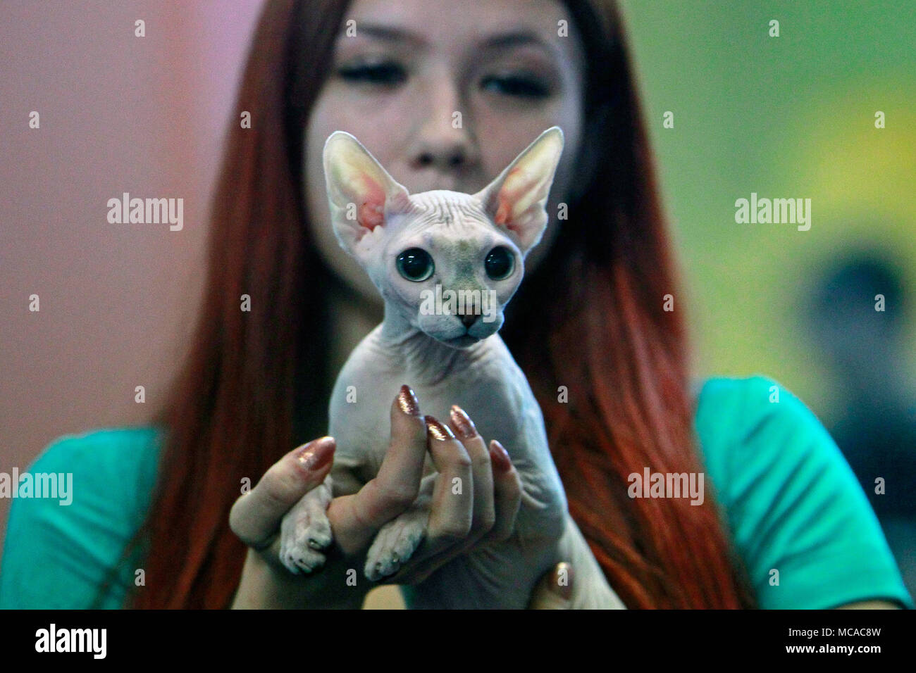 Bucharest, Romania. 14th Apr, 2018. A Sphinx cat is seen during the SofistiCat feline beauty contest in Bucharest, Romania, April 14, 2018. The two-day contest kicked off here on Saturday. Credit: Cristian Cristel/Xinhua/Alamy Live News - Stock Image
