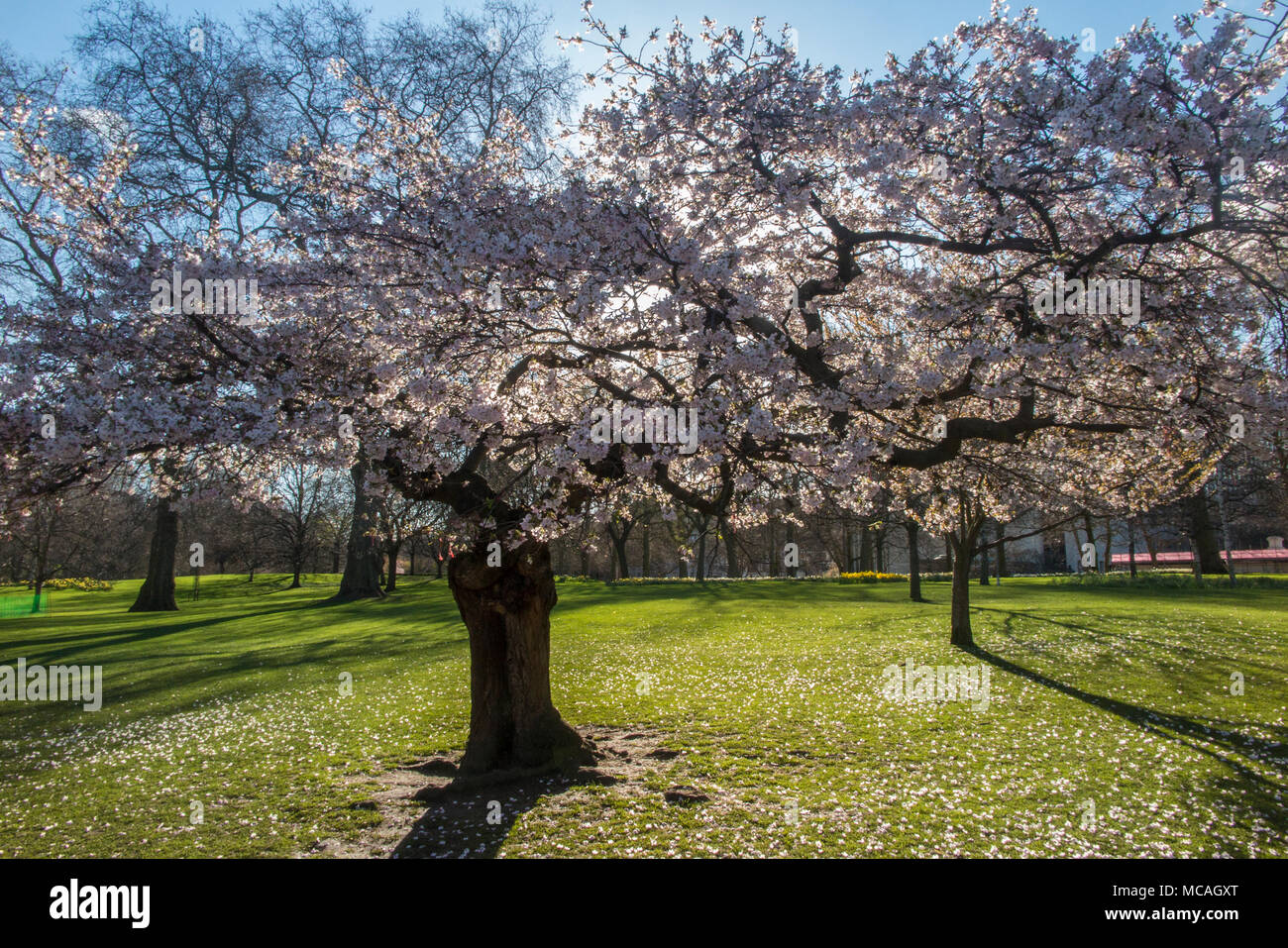 A green parakeet in St James Park, feeding on the spring blossom - Stock Image