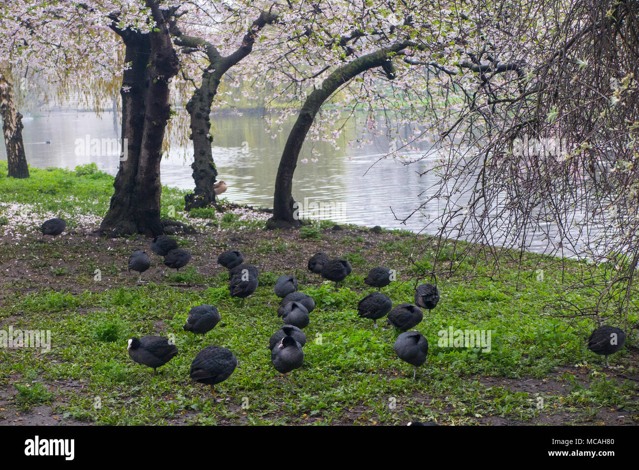 A collection of moorhens and coots in St James Park under a cherry tree in blossom - Stock Image