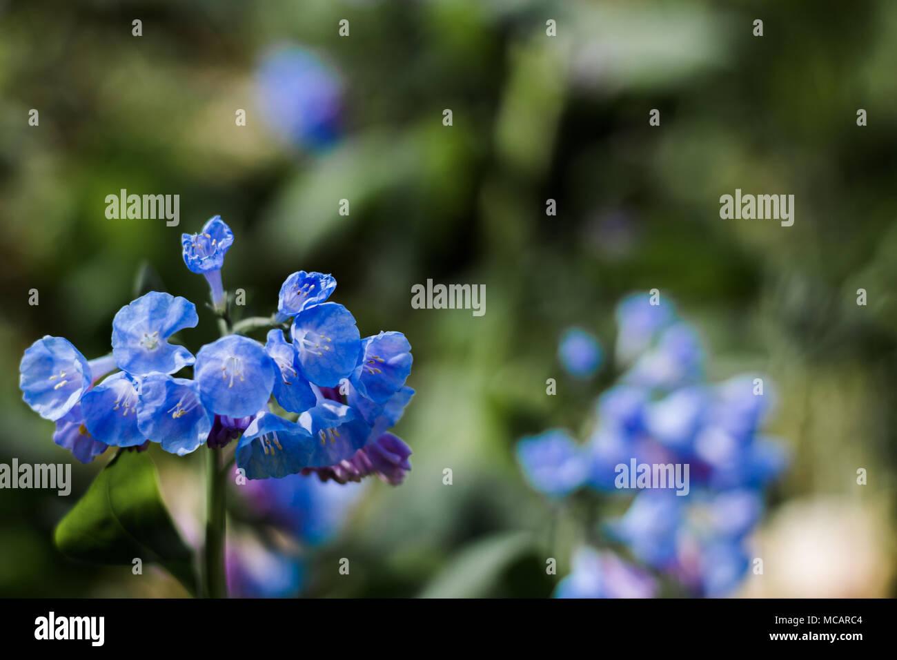 Virginia Bluebells Flowers In Bloom In Early Spring Stock Photo