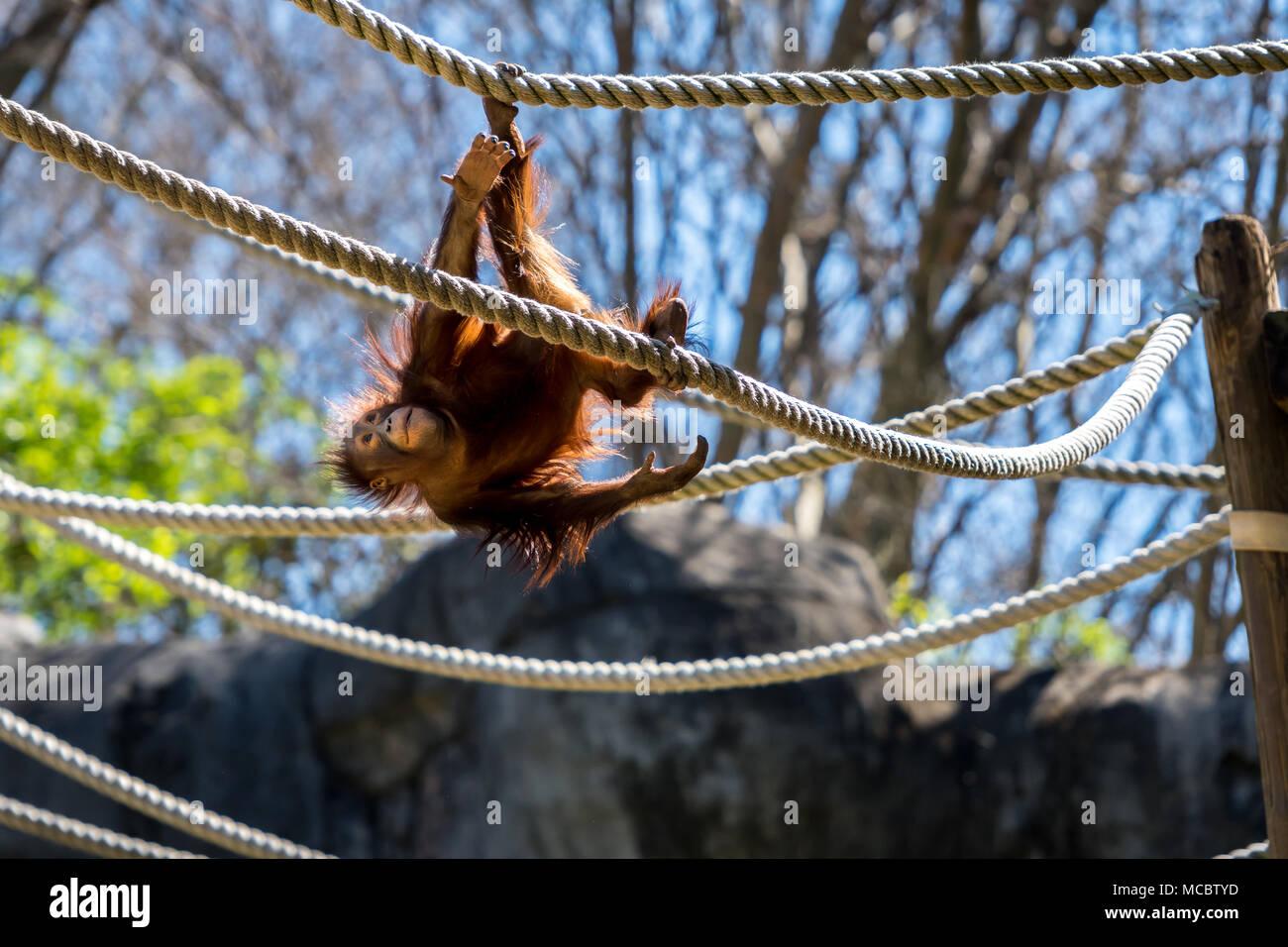 Young Orangutan Swings Upside Down - Stock Image