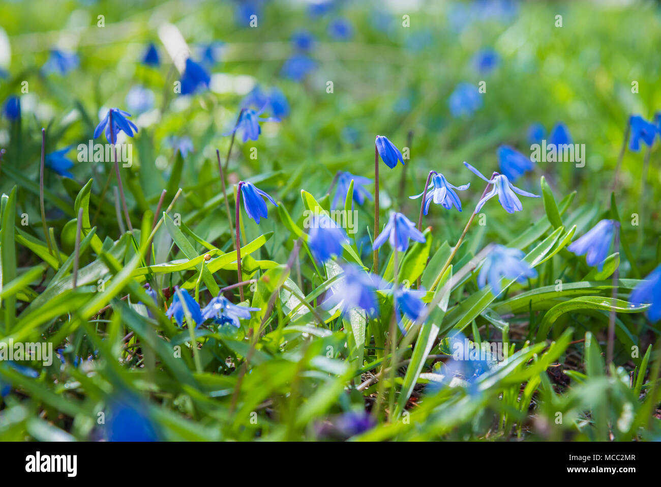 Blue Scilla Flowers Blooming In Green Grass In Early Spring Stock
