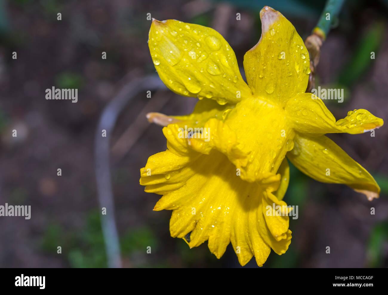 Blooming Yellow Narcissus Flowers Spring Flowers Flowers Blooming