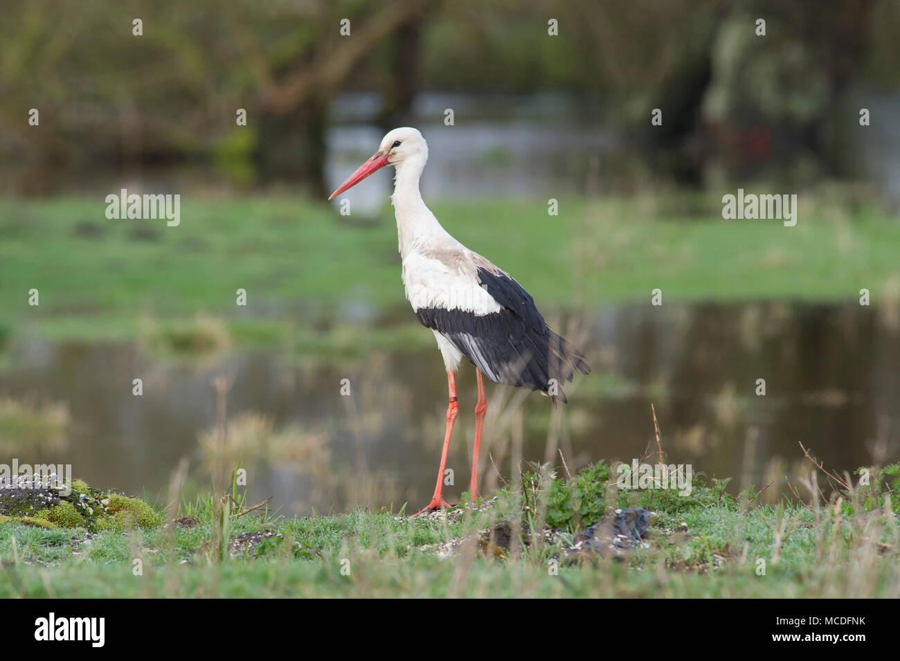 Wansford, East Yorkshire, UK. 16th April, 2018. A rare visitor to the UK, a White Stork (Ciconia ciconia) overlooking flooded fields along the Wansford canal in East Yorkshire. Credit: Josh Harrison/Alamy Live News. - Stock Image