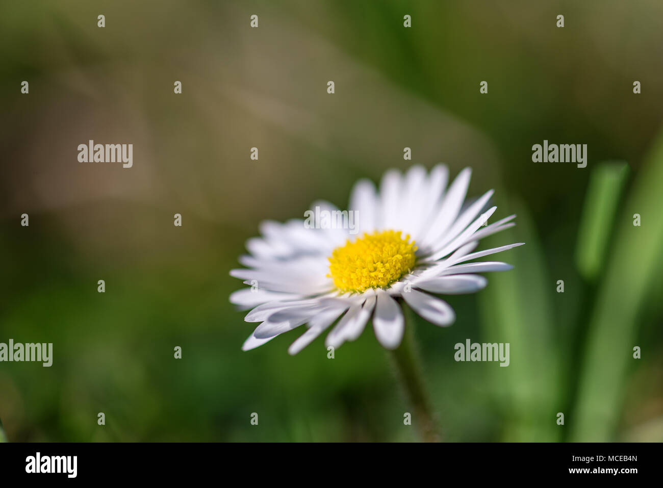 Beautiful Alone Field Daisy Flower With White Petals Grows In Summer