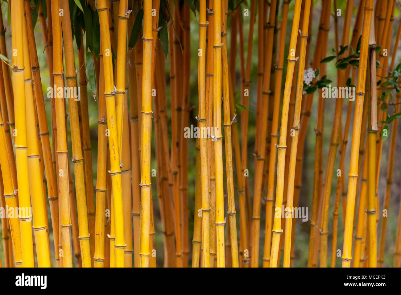Bamboo Shoots in a cluster - Stock Image