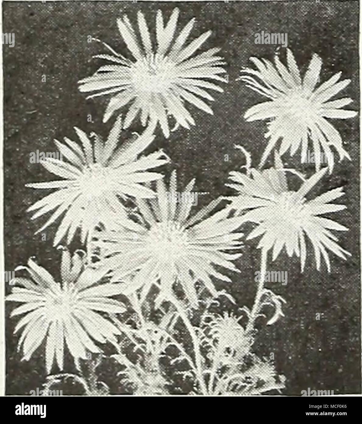 Talioka Daisy 4261 Tahoka Daisy A Machaeranthera Tanacetifolia