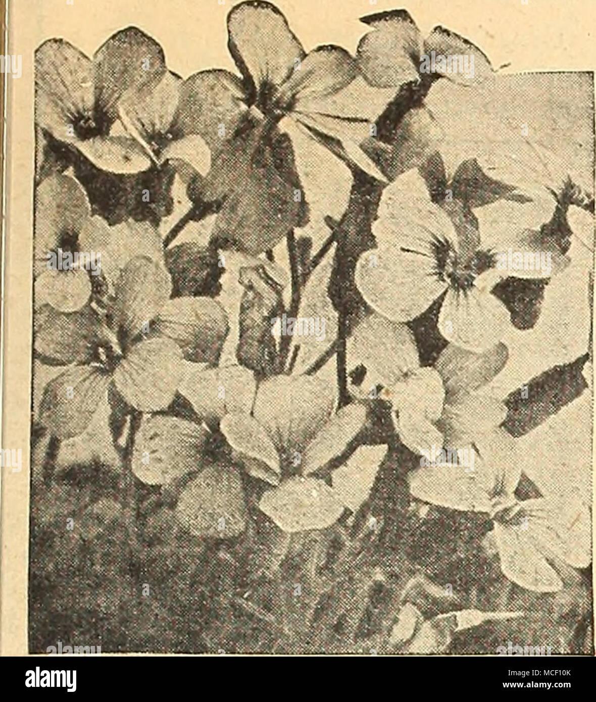 Aubrietia Large Flowering Hybrids Aubrietia Rp A Rainbow Rock