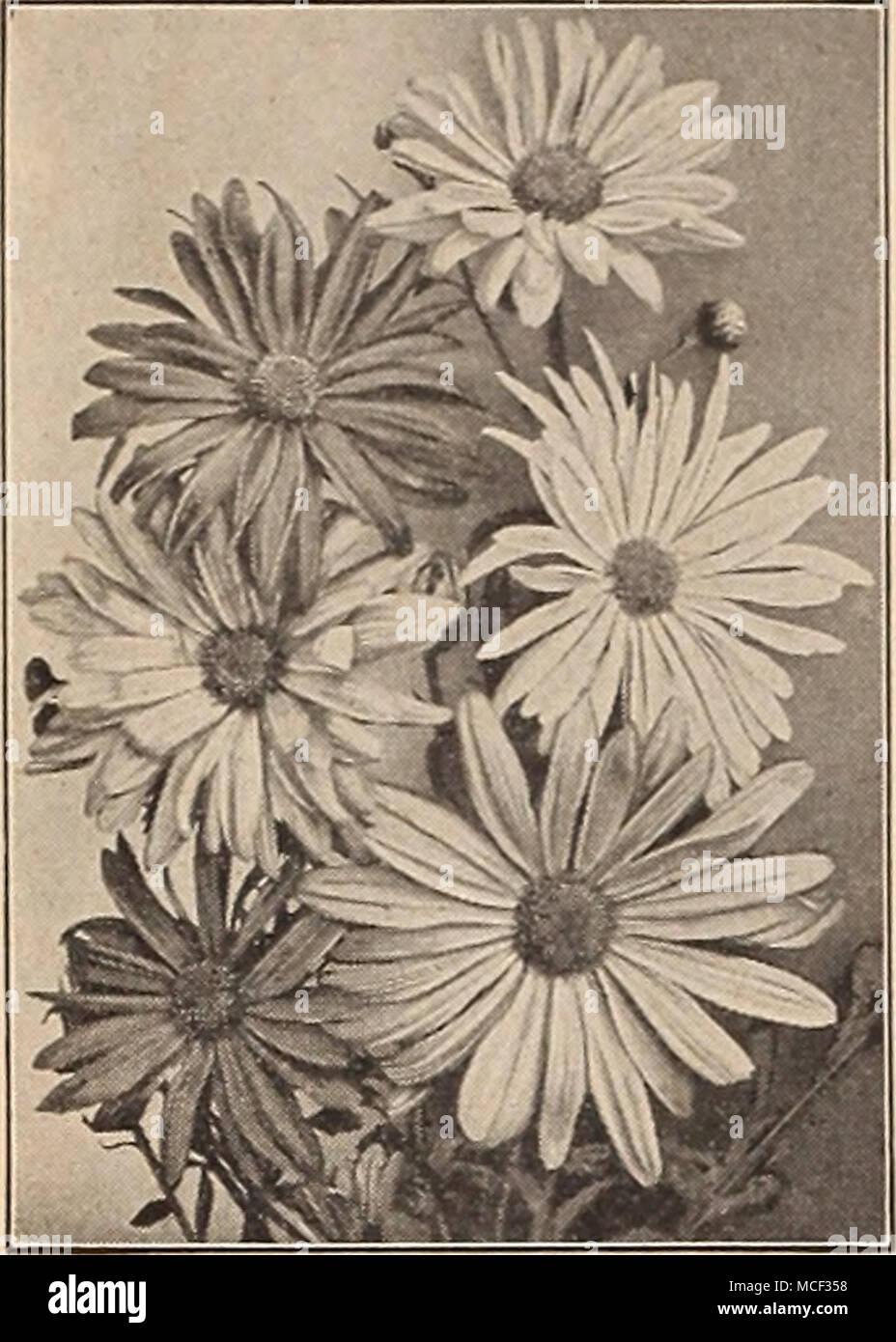 All Dreer Flower Seeds Are Sent Postpaid Dreers De Luxe Korean