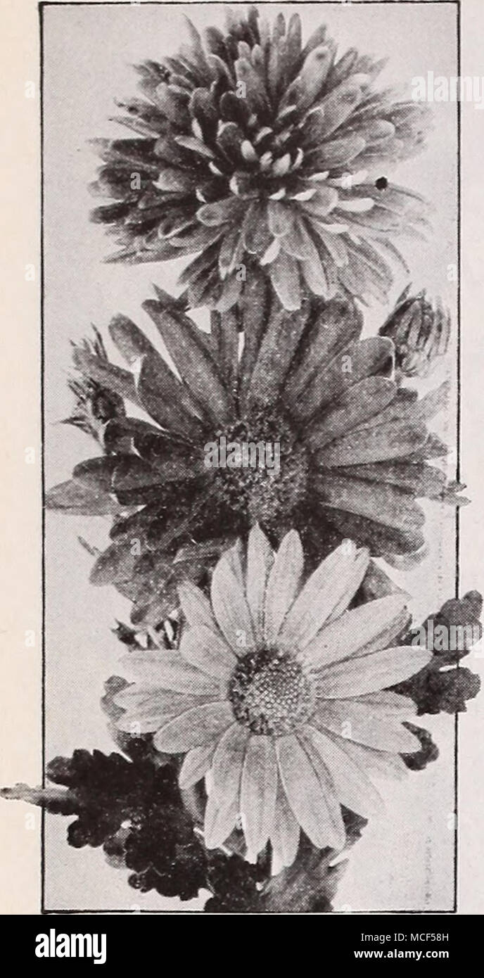 Dreers Deluxe Korean Hybrid Chrysanthemums A Scintillating New