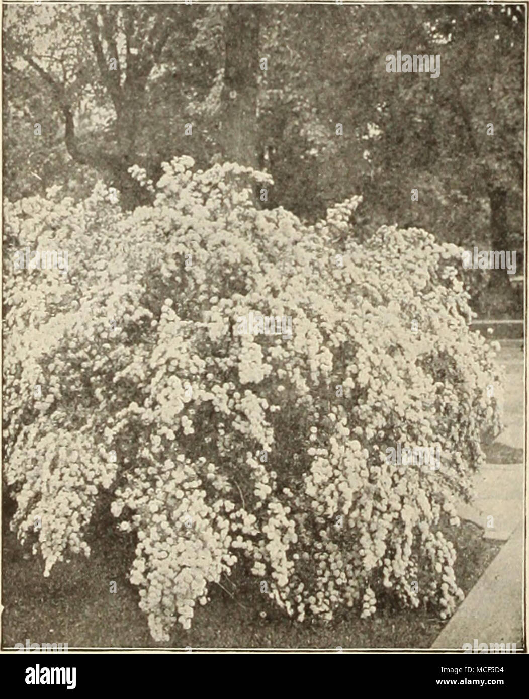 Spira Van Houttei Prunus Japonica Fl Pi Doiiblc Flowcrini