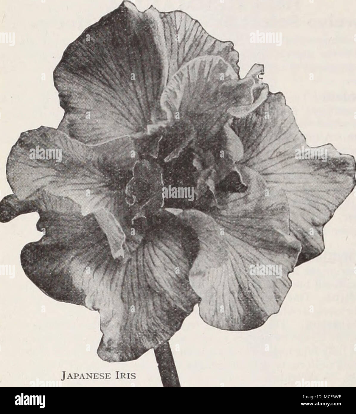 Japanese Iris Japanese Iris Iris Kaempferi The Improved Forms Of