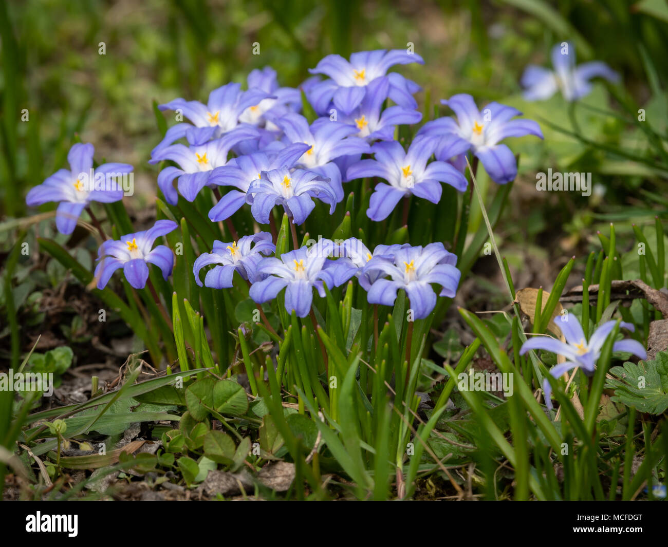 Some Glory Of The Snow Flowers Chionodoxa Luciliae In Spring Stock