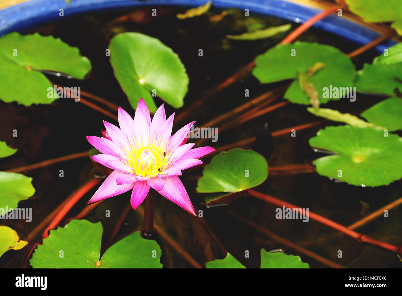 Lotus Flower In Water Bowl Stock Photo 179820544 Alamy