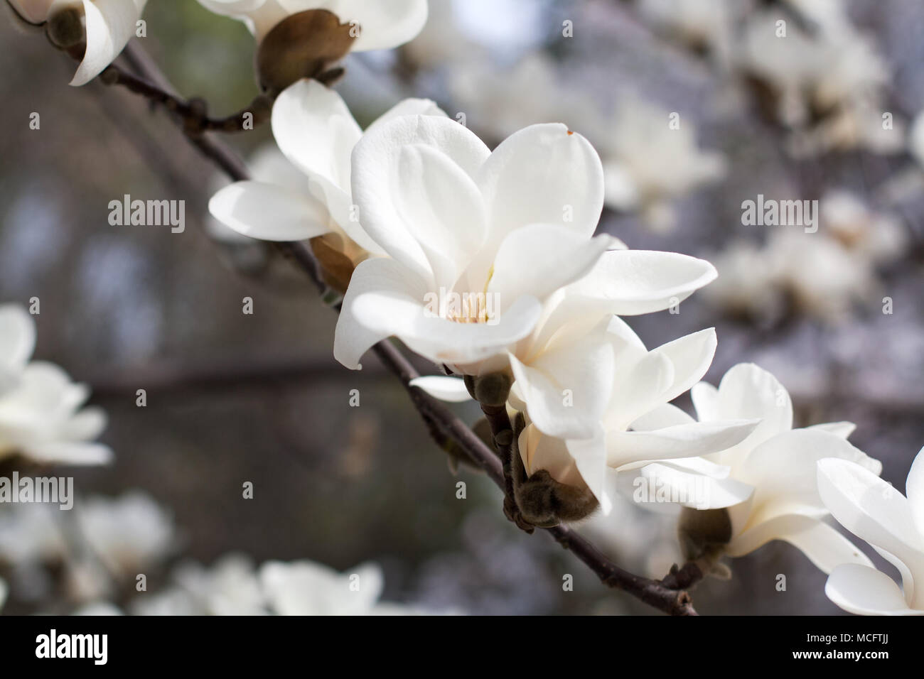 Branch With Blossoming White Magnolia Flowers Close Up Stock Photo