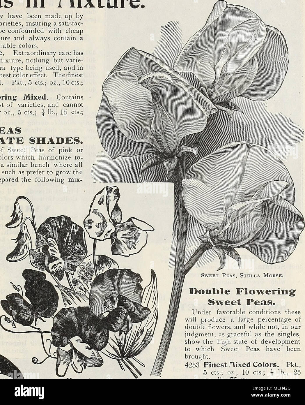 Double flovering svreet peas under favorable conditions these will under favorable conditions these will produce a large percentage of doulle flowers and while not in our judgmenl ns graceful as the singles show the izmirmasajfo Image collections
