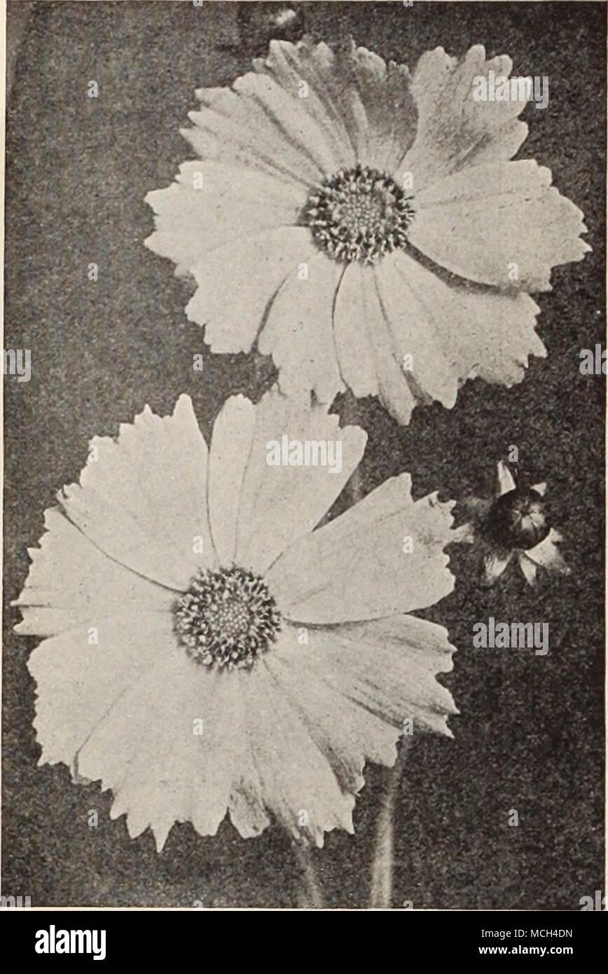 15 15 15 Coreopsis Lanceolaia Grandiflora Convolvulus Morning Glory