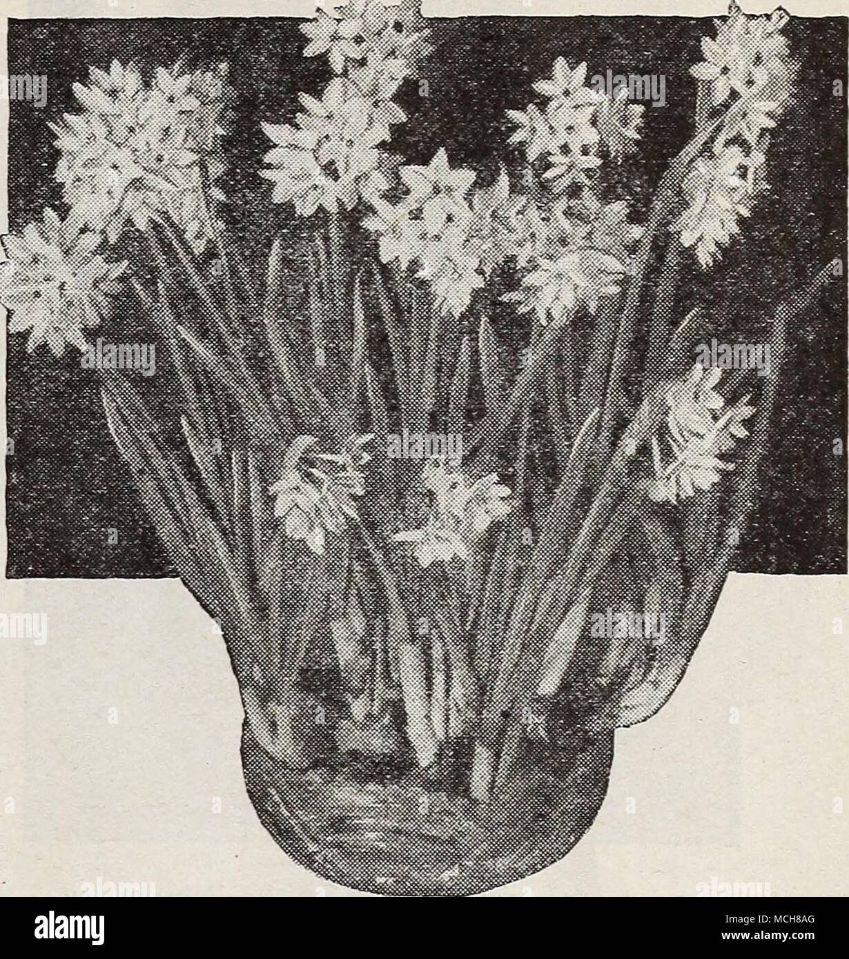 Giant flowering paper white narcissus giant flowering paper white giant flowering paper white narcissus giant flowering paper white narcissus narcissus polyanthus grandiflorus everybody can grow paper white narcissus to mightylinksfo